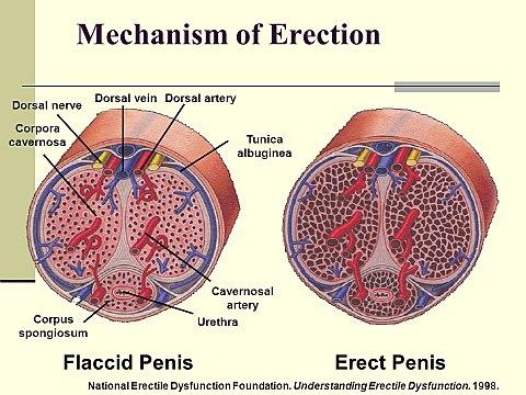 közösülés során az erekció alábbhagy pénisz hossza 33 5 cm