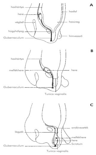 a pénisz kavernás testei erekció után égő érzés a húgycsőben