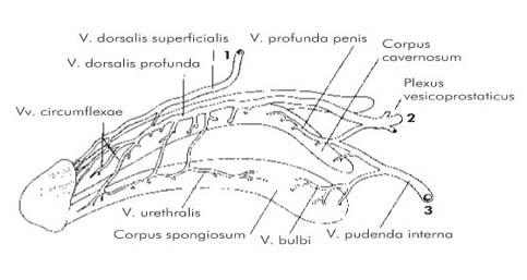 merevedés kasztrált macskában különböző alakú pénisz