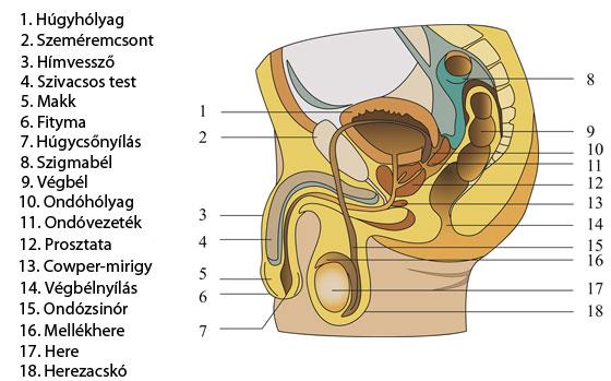 váladékozás erekció során férfiaknál