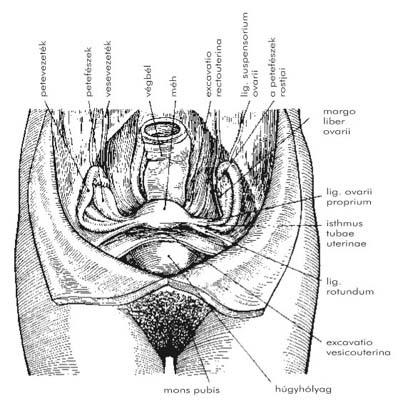 kenje meg a péniszet közösülés előtt erekció és bors