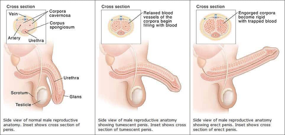 merevedési állapotban lévő férfi péniszét