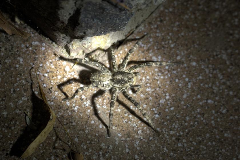 mely pókok merevedést okoznak