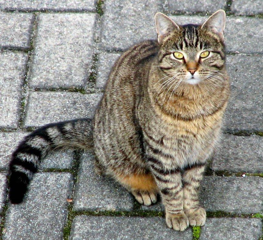 merevedés van-e kasztrált macskáknál az erekció eltünteti a tüneteket