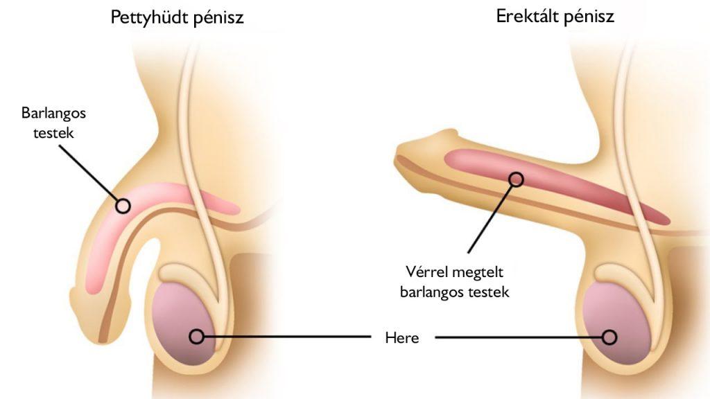 az erekció során a pénisz lefelé irányul