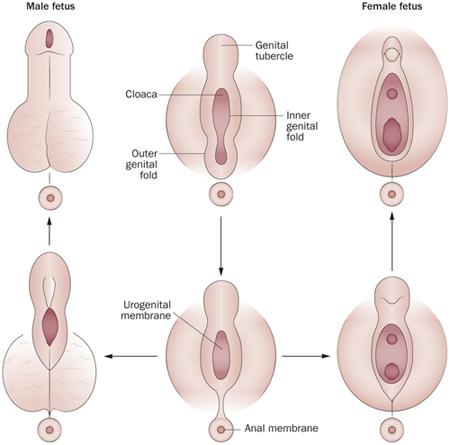 nők pénisz miért a pénisz nem növekszik merevedéssel
