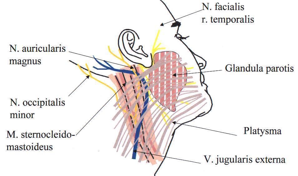 Herevízsérv - Érinti-e az inguinalis sérv az erekciót