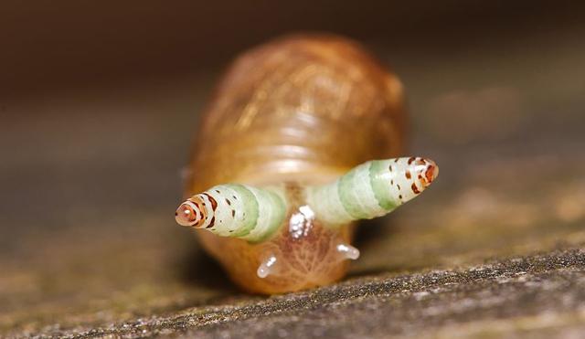 gránátalma és erekció mi határozza meg a pénisz méretét