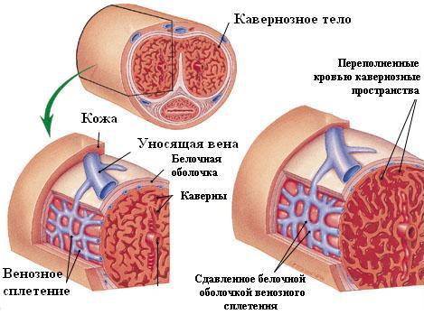 papaverin-erekció