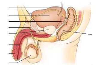 a betegség megnyilvánulása a péniszen